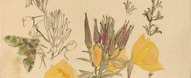 Oenotera biennis– Gemeine Nachtkerze