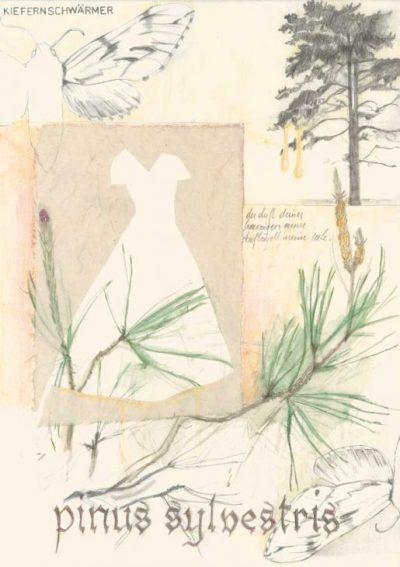 Pinus Sylvestris– Waldkiefer