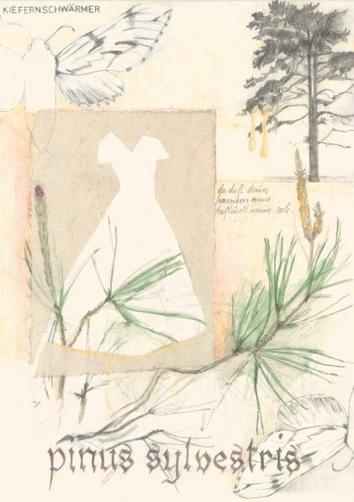 Pinus sylvestris – Kiefer