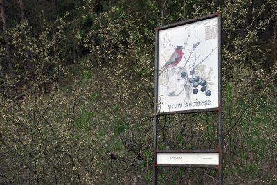 Schauensteinweg – Prunus spinosa