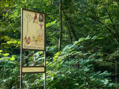 Schauensteinweg – Hypericum perforatum