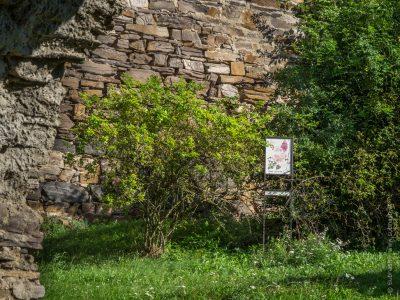 Schauensteinweg – Rosa canina